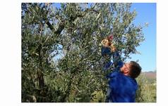 Raccolta Olive Fattoria Il Cipresso